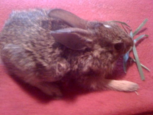 Baby bunny is available for animal communication practice at Speak! Good Human.